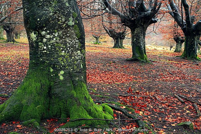 Late autumn in a woodland of pollarded Beech trees in Durango, Basque Country, Spain  -  Jose B. Ruiz/ npl
