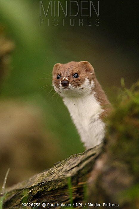 Least Weasel (Mustela nivalis) Yorkshire, United Kingdom  -  Paul Hobson/ npl