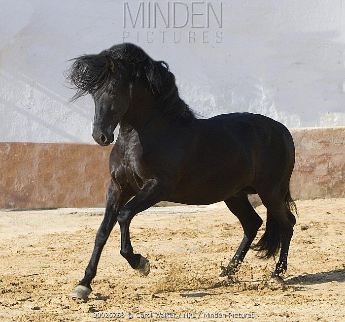Black Andalusian stallion cantering in arena yard, Osuna, Spain  -  Carol Walker/ npl