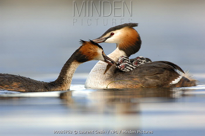 Great Crested Grebe (Podiceps cristatus) pair feeding tench fish to their chicks, which are carried on their backs Lake Geneva, Geneva, Switzerland  -  Laurent Geslin/ npl