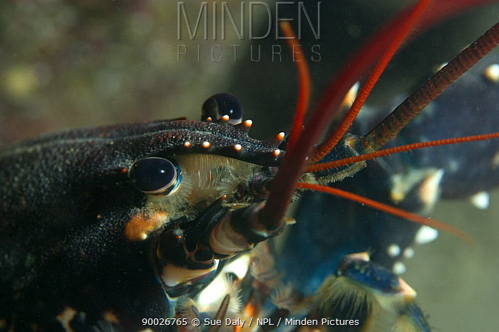 European Lobster (Homarus gammarus) close up, Jersey, Channel Islands, United Kingdom  -  Sue Daly/ npl