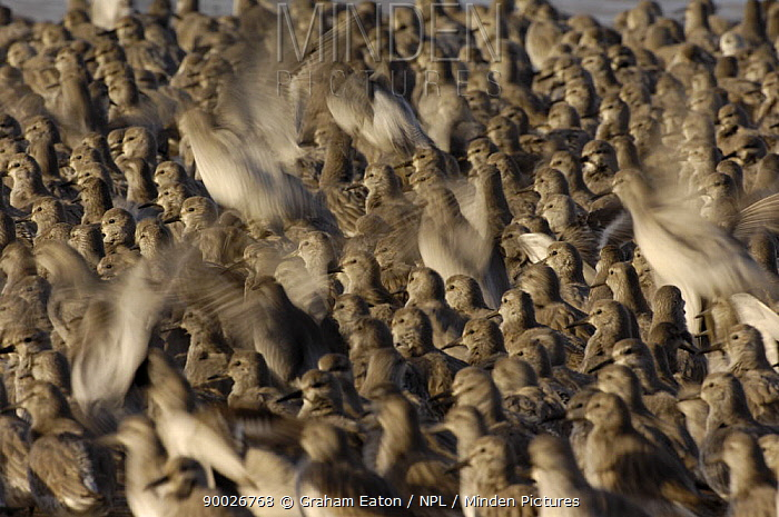 Red Knot (Calidris canutus) taking off from flock roosting at low water, Dee Estuary, Wirral, United Kingdom  -  Graham Eaton/ npl