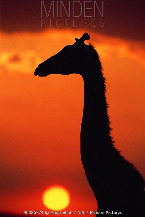 Giraffe (Giraffa camelopardalis) head neck silhouette at sunset, Masai Mara GR, Kenya  -  Anup Shah/ npl