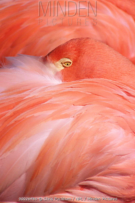 Greater Flamingo (Phoenicopterus ruber) sleeping Captive, Hawaii  -  Chris Packham/ npl