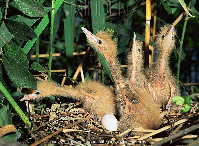 Little Bittern (Ixobrychus minutus) chicks alarmed, River Po, Italy c  -  Angelo Gandolfi/ npl
