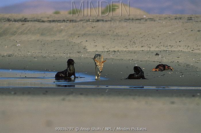 Black-backed Jackal (Canis mesomelas) with Cape Fur Seals (Aractocephalus pusillus) Cape Cross Seal Reserve, Namibia  -  Anup Shah/ npl