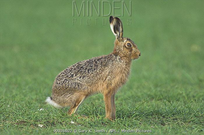 European Hare (Lepus europaeus) adult sitting in cereal field headland, Norfolk, United Kingdom  -  Gary K. Smith/ npl