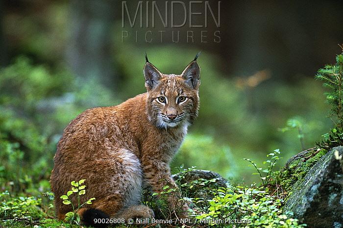 Eurasian Lynx (Lynx lynx) young in spruce forest, Sumava National Park, South Bohemia, Czech Republic  -  Niall Benvie/ npl