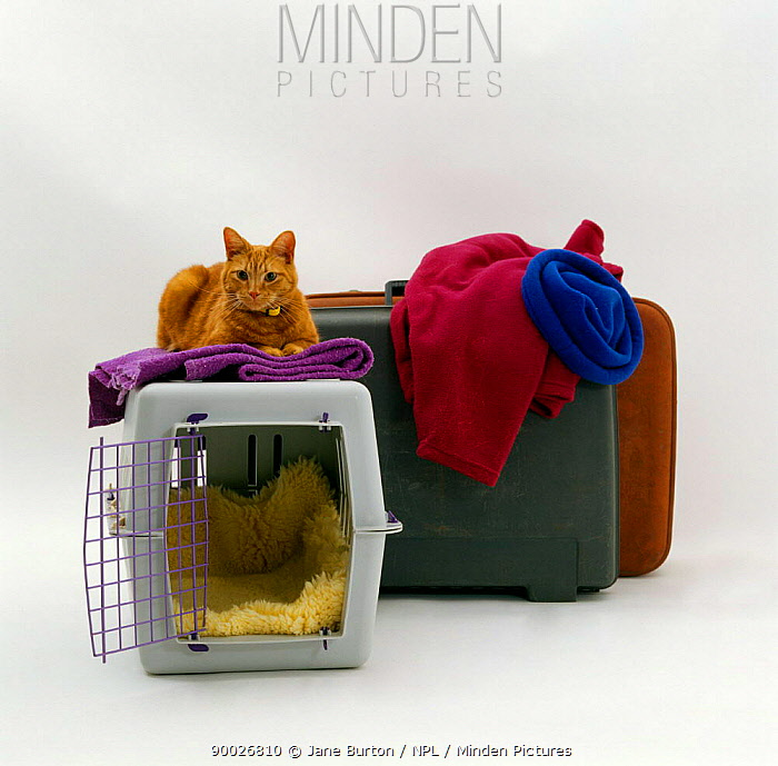 Domestic Cat (Felis catus) 'Tigger' with pet transporter, carrier and suitcases  -  Jane Burton/ npl