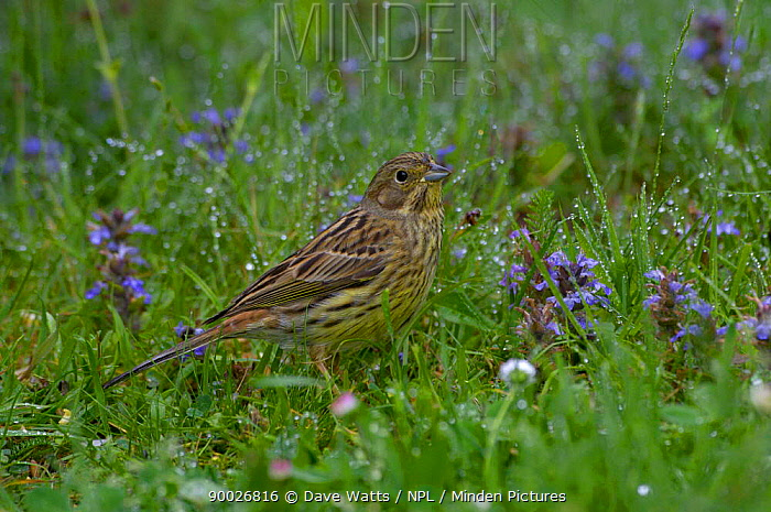 Yellowhammer (Emberiza citrinella) male on dew covered grass, United Kingdom  -  Dave Watts/ npl