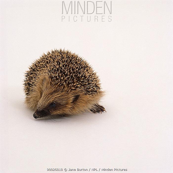 Brown-breasted Hedgehog (Erinaceus europaeus) young,  -  Jane Burton/ npl