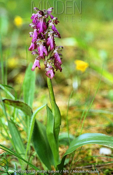 Giant orchid (Barlia robertiana) Provence, France  -  Martin Gabriel/ npl