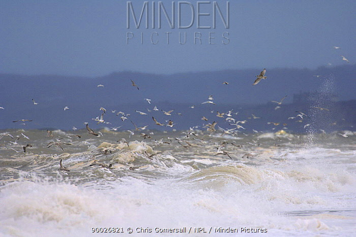 Gulls in flight over stormy sea near Cley, Norfolk, England  -  Chris Gomersall/ npl