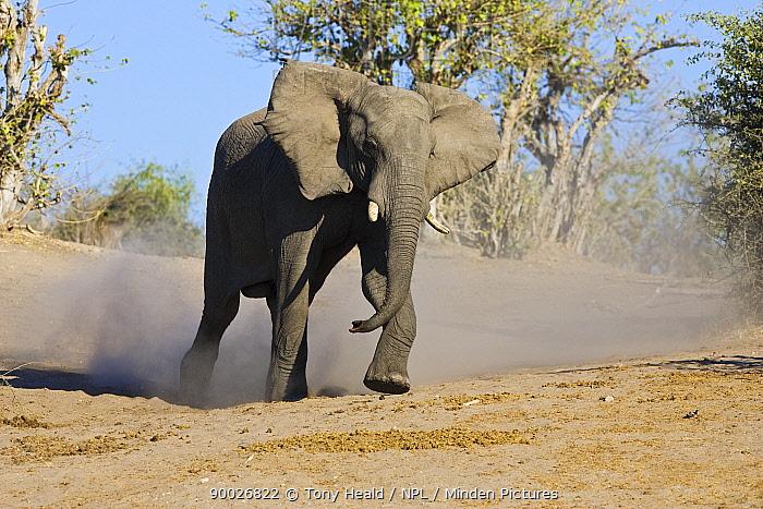 African Elephant (Loxodonta africana) charging, Chobe National Park, Botswana  -  Tony Heald/ npl