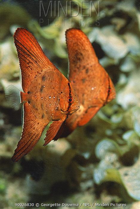 Orbiculate Batfish (Platax orbicularis) juveniles Bunaken National Park, North Sulawesi, Indonesia  -  Georgette Douwma/ npl