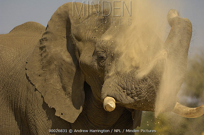 African Elephant (Loxodonta africana) dust bathing, Hwange national park, Zimbabwe  -  Andrew Harrington/ npl