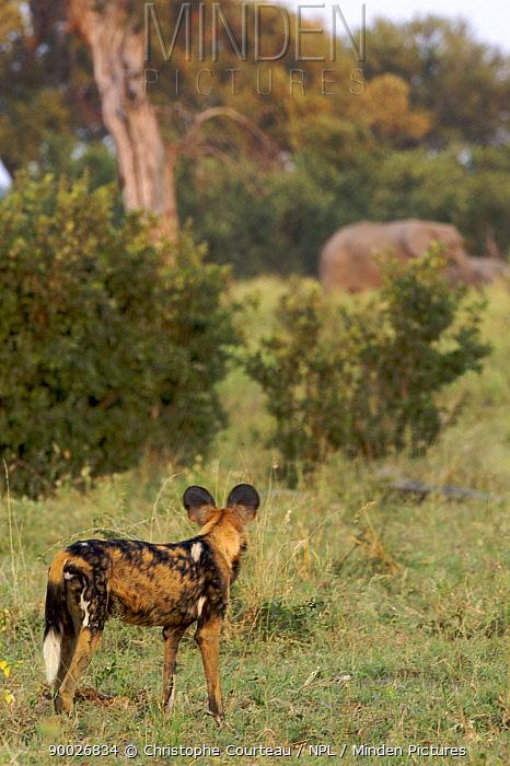 African Wild Dog (Lycaon pictus) watching elephants, Okavango Delta during the dry season, Botswana  -  Christophe Courteau/ npl