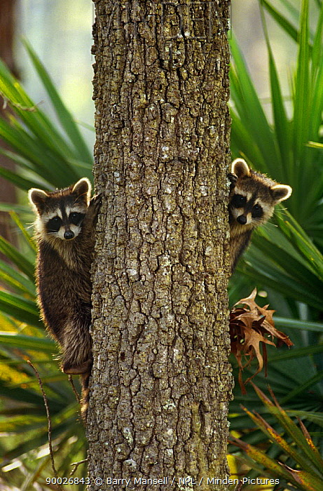 Raccoon (Procyon lotor) pair peering out from behind tree trunk, Florida  -  Barry Mansell/ npl