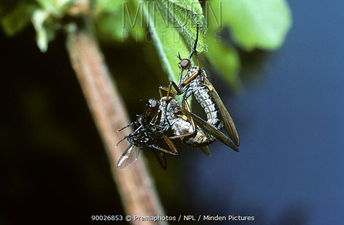 Dance fly (Empis, Polyblepharis opaca) mating pair with the female feeding on the male's gift of a fly, UK  -  Premaphotos/ npl