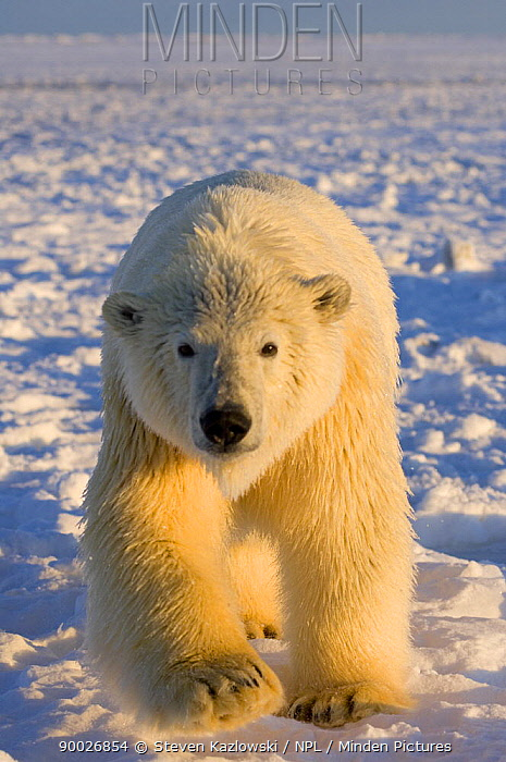 Polar Bear (Ursus maritimus)on ice and snow, 1002 coastal plain of the Arctic National Wildlife Refuge, Alaska  -  Steven Kazlowski/ npl