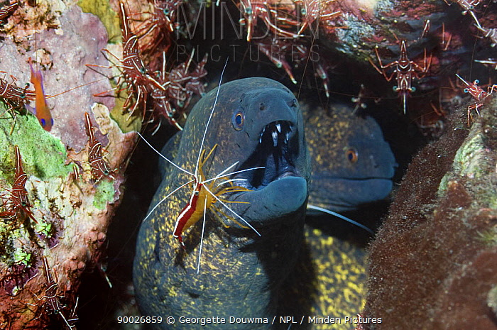 Yellow-edged Moray (Gymnothorax flavimarginatus) being cleaned by a Hump-back, Scarlet cleaner shrimp (Lysmata amboinenis) with Durban hinge-beak shrimps (Rhynchocinetes durbanensis) on coral rock in background, Bali, Indonesia  -  Georgette Douwma/ npl