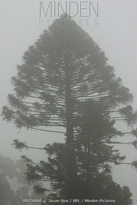 Bunya pine tree (Araucaria bidwillii) silhouetted in mist, Bunya Mountains National Park, Queensland, Australia  -  Jouan & Rius/ npl