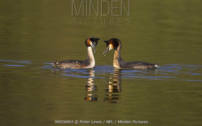 Great Crested Grebe (Podiceps cristatus) pair on water, Titchfield National Nature Reserve, Hampshire, England  -  Peter Lewis/ npl