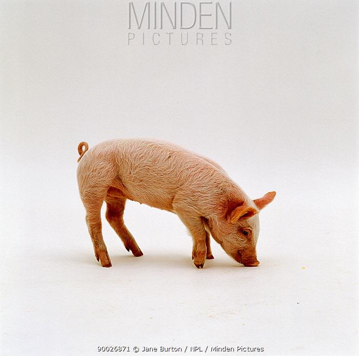 Domestic pig (Sus scrofa domestica) sniffing the ground, captive, UK  -  Jane Burton/ npl
