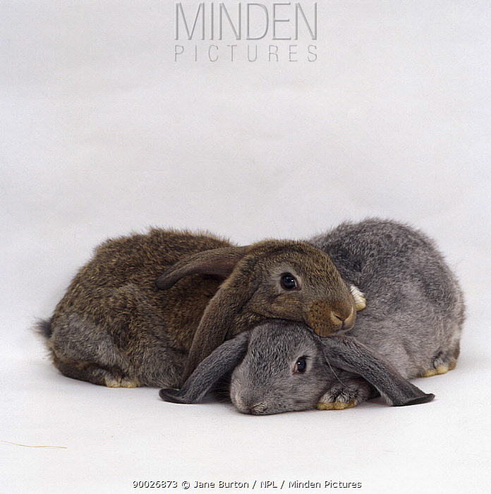 Silver and Agouti lop-eared rabbits, nine-weeks-old, one resting on the other  -  Jane Burton/ npl