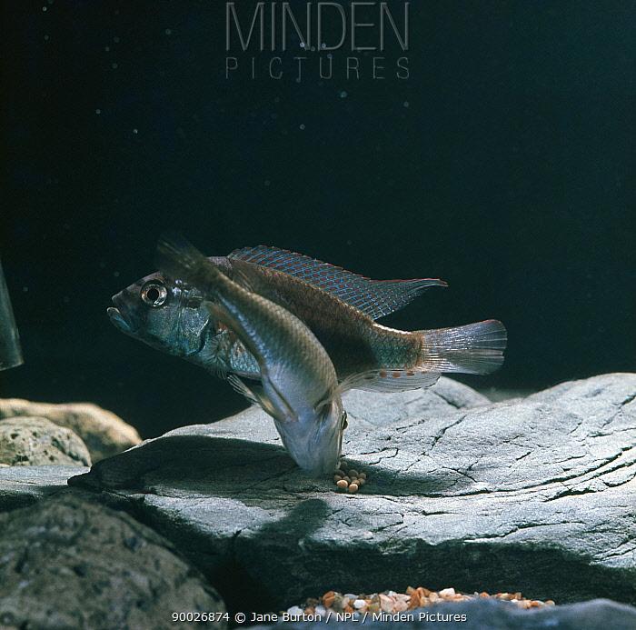 African mouthbrooder (Haplochromis burtoni) female picking up new-laid (unfertilised) eggs from stone, captive, from Lake Tanganyika, Tanzania, sequence 1, 7  -  Jane Burton/ npl