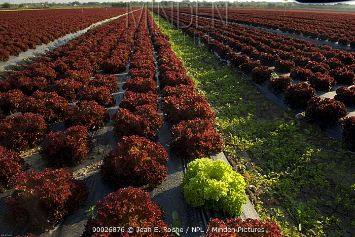 Rows of Lettuces grown through plastic sheeting, horticulture, Candillargues, Languedoc, France  -  Jean E. Roche/ npl