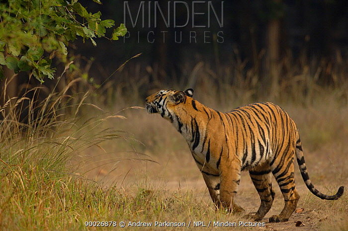 Bengal Tiger (Panthera tigris tigris) an adult female sniffing for scent marks Bandhavgarh National Park, Madhya Pradesh, India  -  Andrew Parkinson/ npl