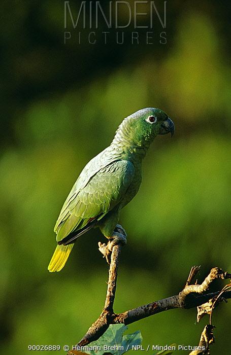 Mealy Parrot (Amazona farinosa) Tambopata Reserve, Peru  -  Hermann Brehm/ npl