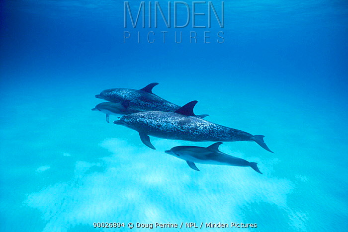 Atlantic Spotted Dolphin (Stenella frontalis) with calves Bahamas  -  Doug Perrine/ npl
