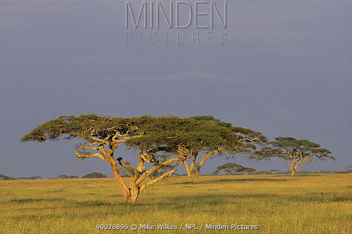 Landscape with Acacia trees (Acacia sp), Serengeti, Tanzania  -  Mike Wilkes/ npl