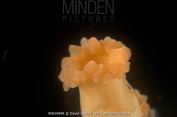Deepsea Solitary coral (Lophelia pertusa), deep sea Atlantic ocean  -  David Shale/ npl