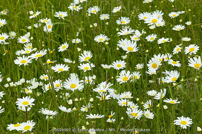 Marguerite (Leucanthemum vulgare) growing in organic pasture land, County Durham, United Kingdom  -  Jason Smalley/ npl
