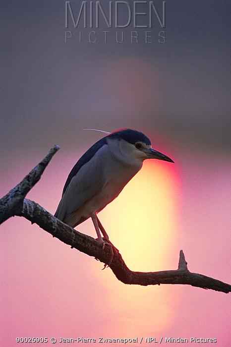 Black-crowned Night Heron (Nycticorax nycticorax) sunset, Keoladeo Ghana National Park, Bharatpur, Rajasthan, India  -  Jean-pierre Zwaenepoel/ npl