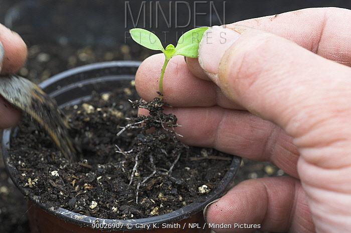 Gardener potting up seedling in Spring, Norfolk, UK  -  Gary K. Smith/ npl