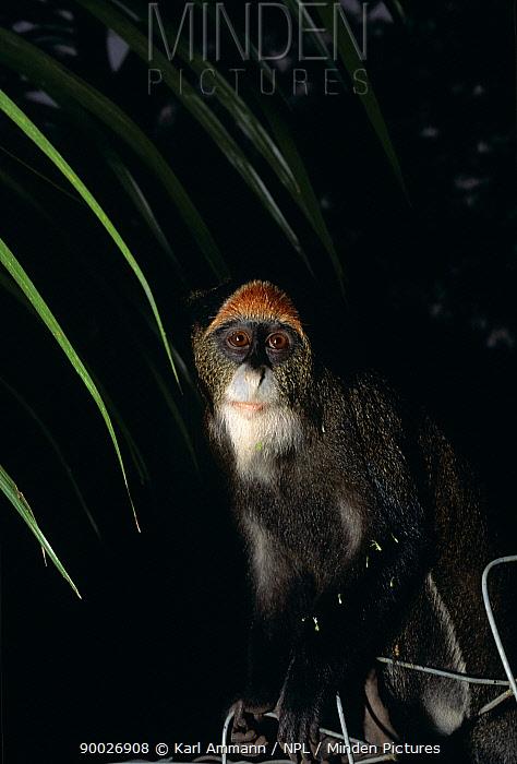White-nosed Guenon (Cercopithecus nictitans), Central Africa  -  Karl Ammann/ npl