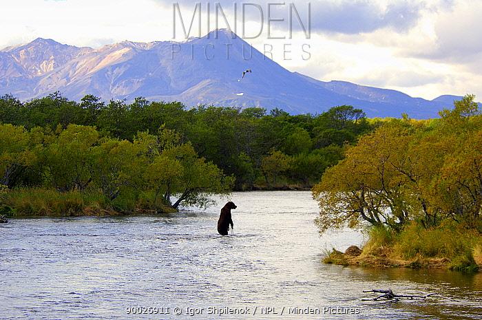 Brown Bear (Ursus arctos) standing whilst fishing for Salmon in river, Kronotsky Zapovednik Reserve, Kamchatka, Russia  -  Igor Shpilenok/ npl