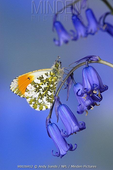 Orange Tip (Anthocharis cardamines) male on Bluebell flower, Captive, United Kingdom  -  Andy Sands/ npl