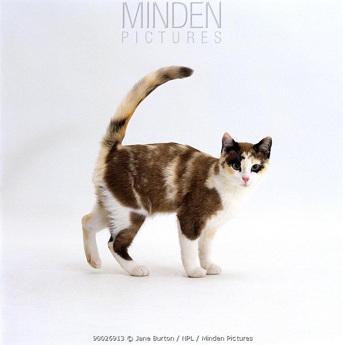 Domestic Cat (Felis catus) Chocolate-tortoiseshell 'Cookie', friendly tail-up greeting  -  Jane Burton/ npl