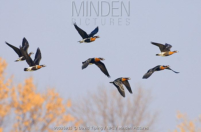 Red-breasted Goose (Branta ruficollis) flock in flight, Duranulak, Bulgaria  -  David Tipling/ npl