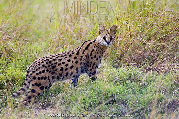 Serval (Felis serval) Masai Mara, Kenya  -  David Tipling/ npl