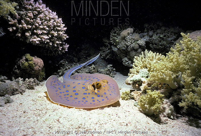 Blue Spotted Fantail Stingray (Taeniura lymma) resting on sea bed Egypt, Red Sea  -  Jeff Rotman/ npl