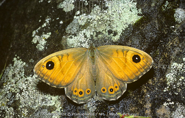 Large wall brown butterfly (Lasiommata maera) France  -  Premaphotos/ npl