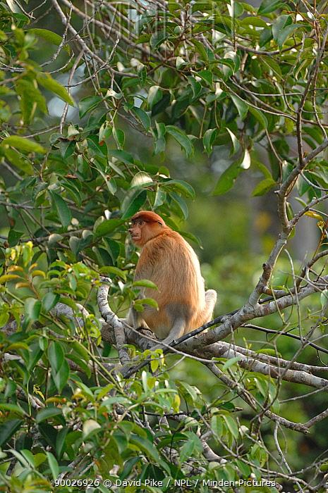 Proboscis Monkey (Nasalis larvatus) sitting in tree canopy, Tanjung Puting National Park, Indonesia  -  David Pike/ npl