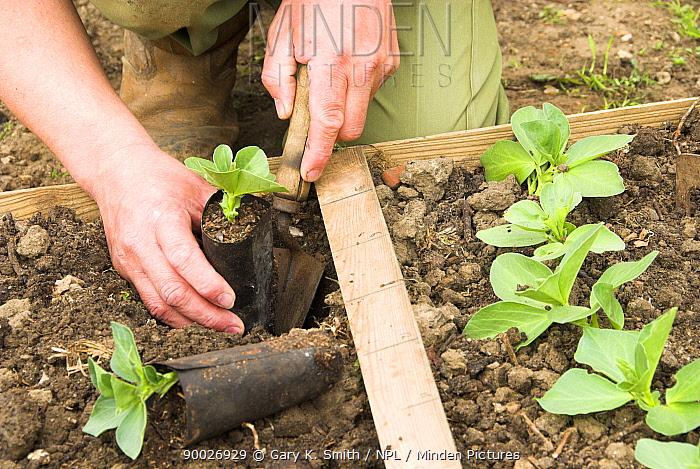 Man planting Broad bean plants (Vicia faba) in biodegradable fibre pots, Norfolk, UK, April  -  Gary K. Smith/ npl