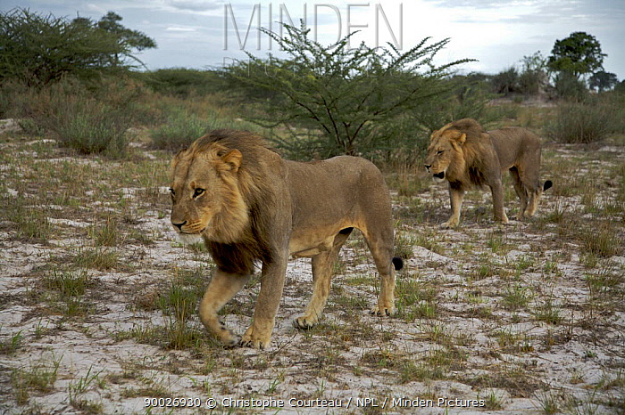 African Lion (Panthera leo) males walking through scrubland, Kalahari Desert, Botswana  -  Christophe Courteau/ npl